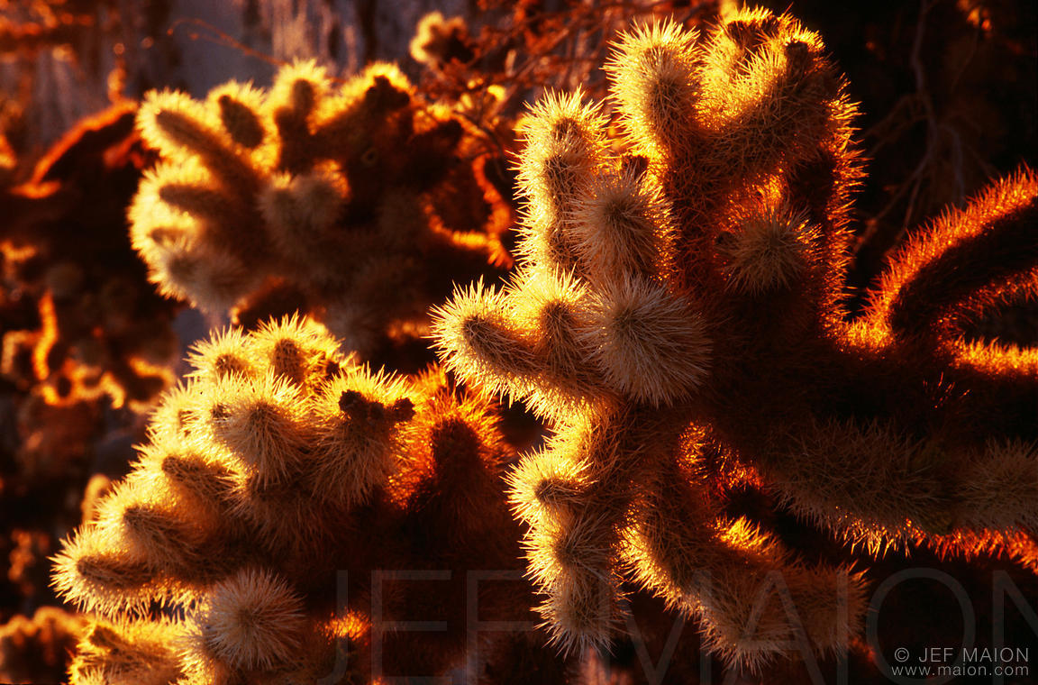 Cholla cacti, sunrise