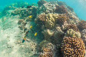 Variety of Fish in Coral Reef Habitat off Big Island of Hawaii