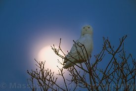 Snowy Owl with Moonrise