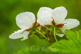 Thimbleberry Flowers on Mount Townsend in Olympic National Forest