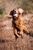 Irish setter in New Forest