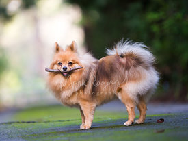 Pomeranian Dog Standing in Profile with Stick