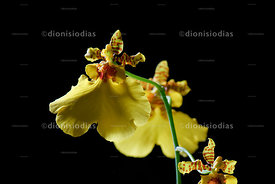 Closeup of Golden Rain Orchid.