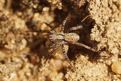 Pardosa species photos