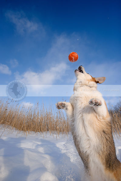 short corgi dog jumping for ball in winter setting under sky