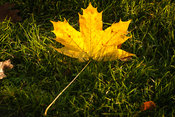 A fallen maple leaf in the sun