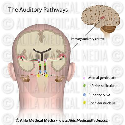 The auditory pathways
