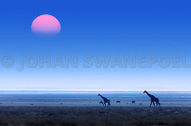Giraffes with red sunset and blue hazy sky