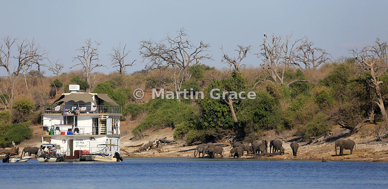 Pride of the Zambezi tourist riverboat with elephant herd on the shore of the River Chobe and two African Fish-Eagles in the trees, Botswana