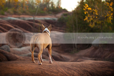 tan and white dog from behind standing on ridge in red clay valley