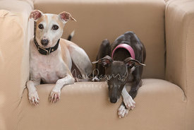 Pair of Italian Greyhounds Lying Down in Chair