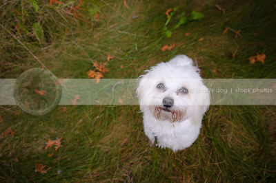 small white groomed dog looking up from grass