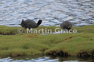 Red-Gartered Coot (Fulica armillata), Chiloe Island, Chile