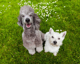 Silver Poodle and White Terrier Puppy Friends