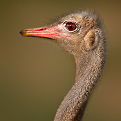 Wild Male Ostrich close-up portrait