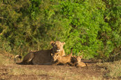Lioness with cubs (Panthero leo), Kidepo Valley National Park, Uganda