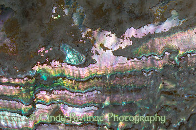 Abalone Abstract #65