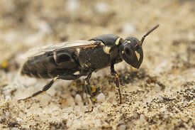 Hylaeus species at Rousson, Cevennes, France  ( to id.)