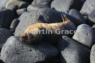 Galapagos Sea Lion pup (Zalophus californianus wollebacki or wollebaeki) sleeping among the rocks at Punta Suarez, Espanola, Galapagos