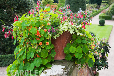 Lushly planted container featuring nasturtiums, helichrysum, verbena and fuchsia at Powis Castle Garden