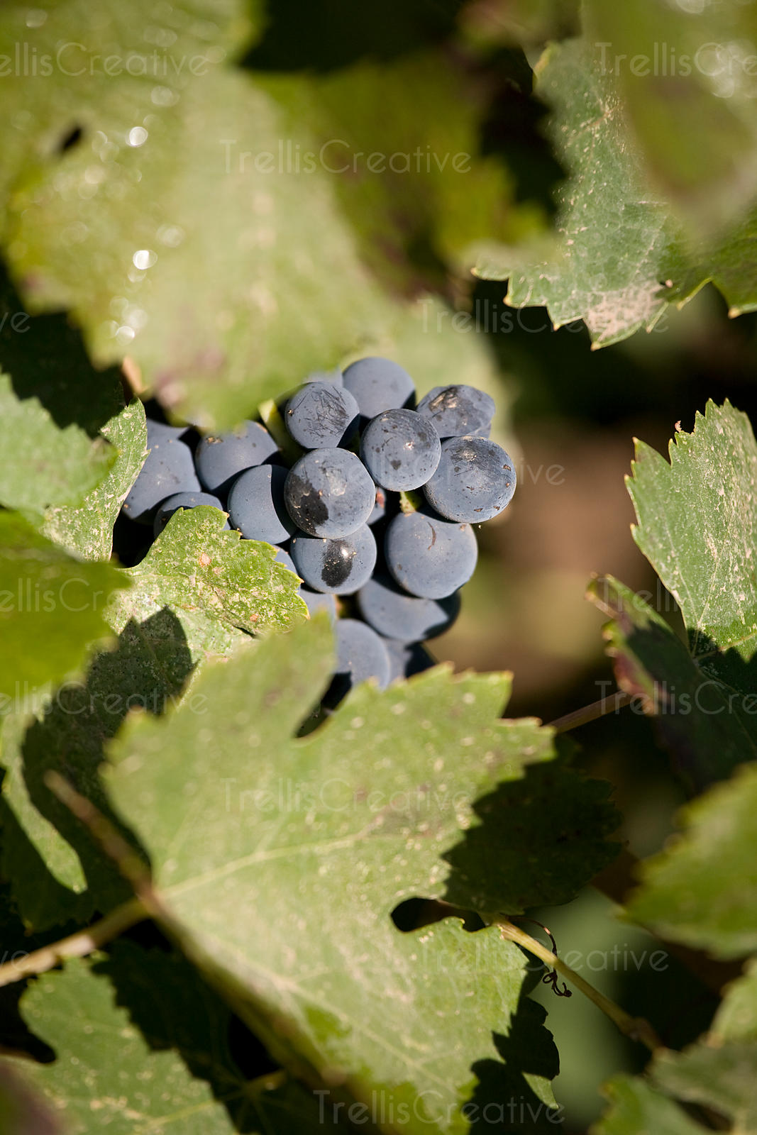 A ripe red grape cluster among vines