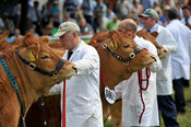 Limousin beef cattle being showed at the Royal Welsh show 2013.