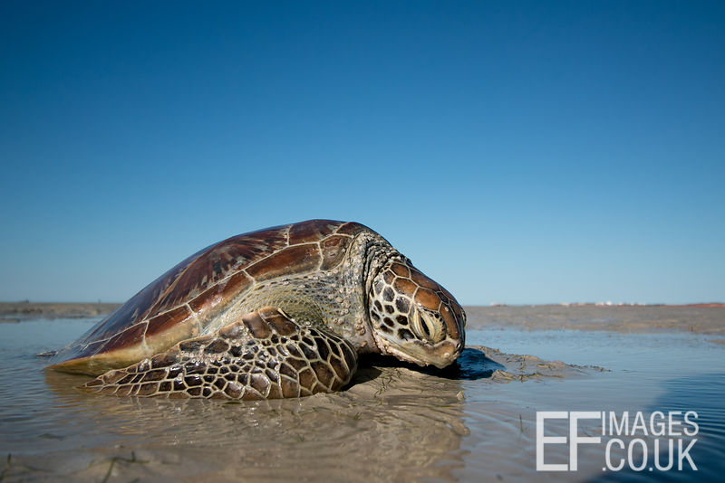 Stranded Green Sea Turtle, Broome, Western Australia