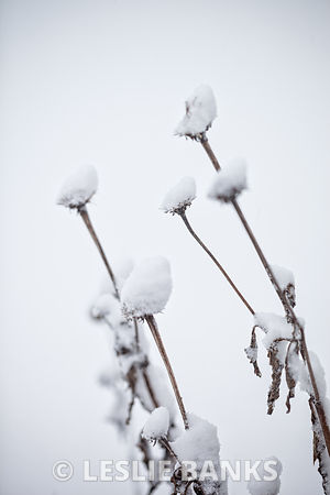 Dead coneflower covered in snow