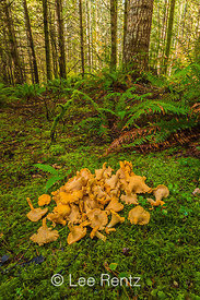 Yellow Chanterelles, Cantharellus cibarius,  Gathered on the Olympic Peninsula