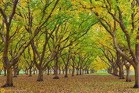Walnut Orchards in Fall #13