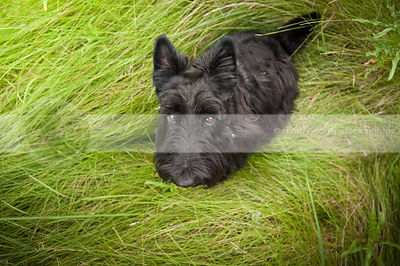 expressive shy black scottie dog looking upward from grasses