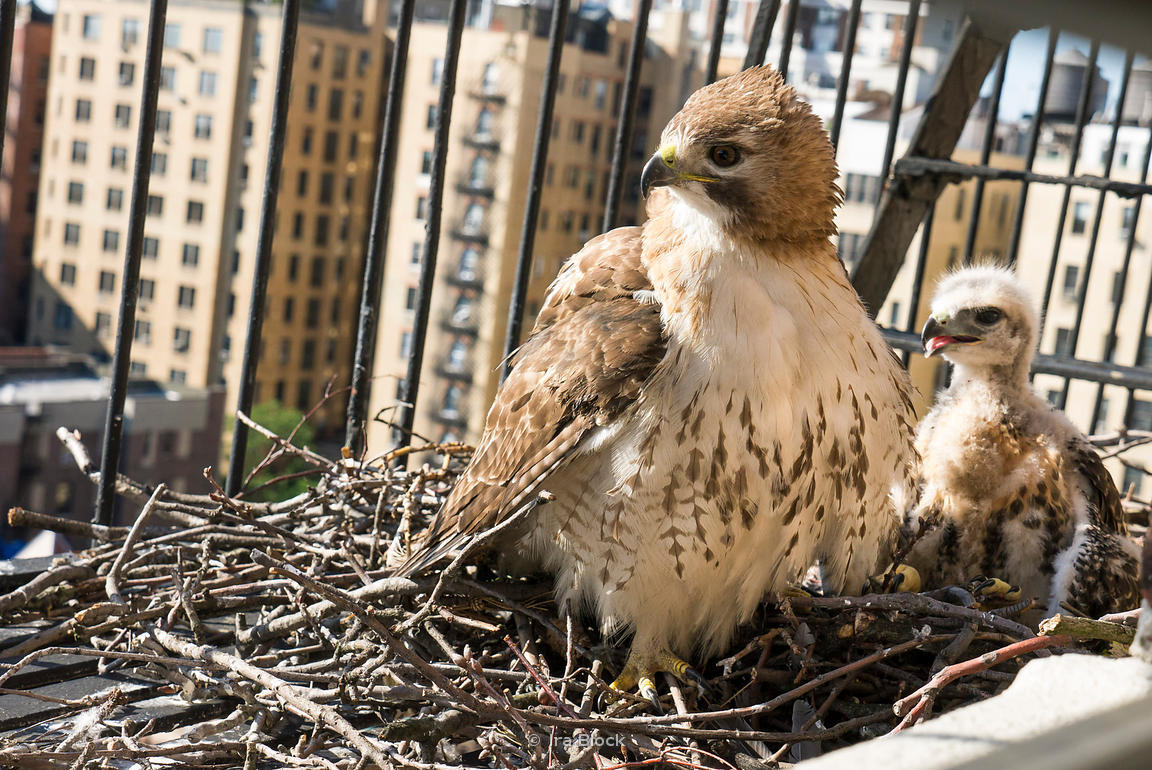 ira block photography a red tail hawk and her 6 7 week
