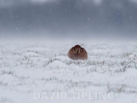 Brown Hare Lepus europaeus in freezing weather and snow North Norfolk February