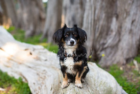 Tricolored Terrier Mix Longhaired Dog Sitting on a Large Fallen Tree