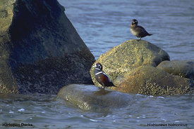 September - Harlequin Ducks