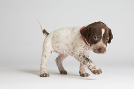 Puppy walking against white background in studio