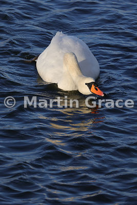 Mute Swan male (cob) (Cygnus olor) displaying with head held low and the neck extended, Dumfries & Galloway, Scotland