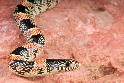 Long-nosed snake (Rhinocheilus lecontei) photos