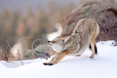 Coyote photos