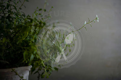 Detail shot of a potted oregano plant with beautiful long sprigs on a moody gray background.