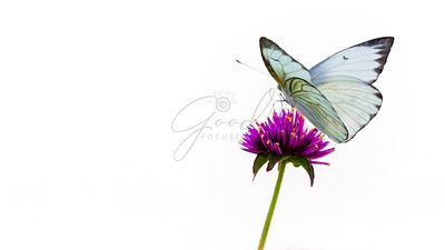 White Butterfly Isolated on Purple Flower
