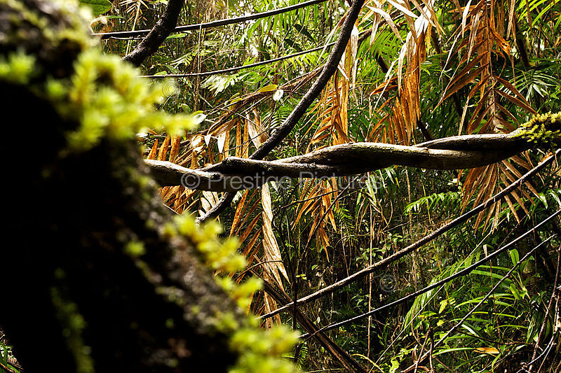 Tangle of Rainforest Vines