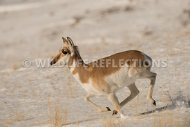 pronghorn_running_snow_hill-1