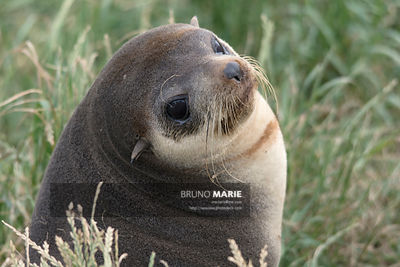Sea lion (Arctocephalus tropicalis)