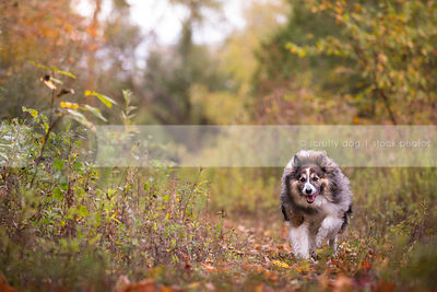 longhaired collie cross dog running on meadow trail