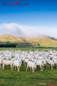 Flock of sheep, Canterbury, New Zealand