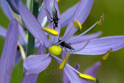 Insect on Blue Camas (Camassia quamash) in the Willamette Valley, Oregon, an important plant to indigenous inhabitants (Kalapuya)