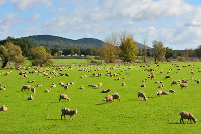 A flock of sheep grazing in the vast plains of Alentejo near Portalegre. Portugal