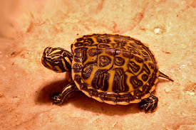 Turtle species, juvenile