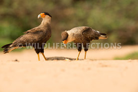 caracara_three_brothers_beach-5
